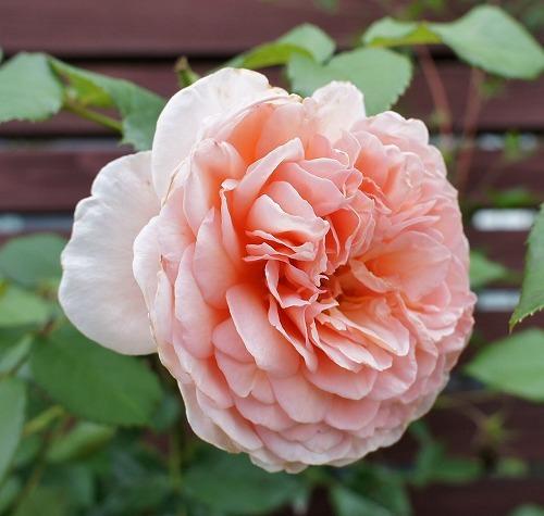 薔薇の2番花と芝生の上の福丸さん_f0205733_01023279.jpg