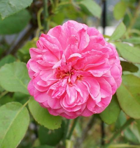 薔薇の2番花と芝生の上の福丸さん_f0205733_01024003.jpg