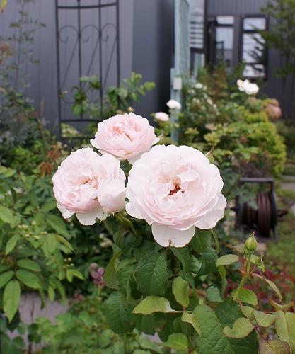 薔薇の2番花と芝生の上の福丸さん_f0205733_01024637.jpg