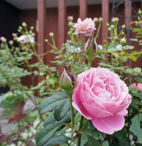 薔薇の2番花と芝生の上の福丸さん_f0205733_01024985.jpg