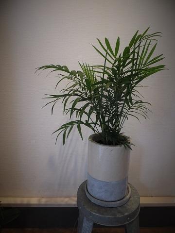 オークリーフ(観葉植物)_f0049672_16524436.jpg