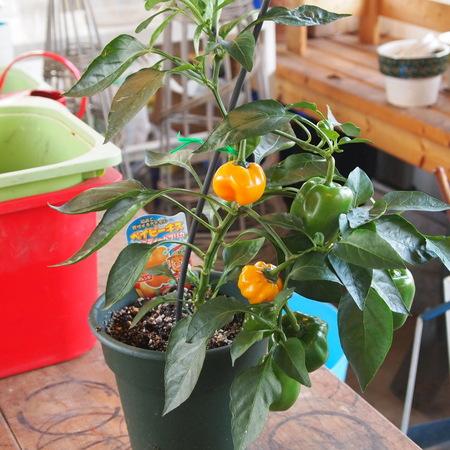ミニパプリカの鉢植え栽培_a0292194_17591463.jpg