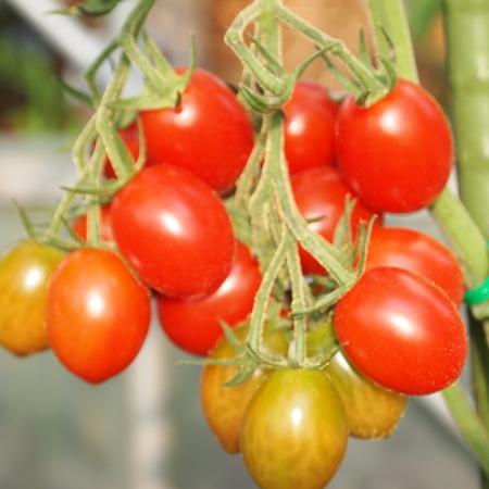 トマトも色々_a0292194_18244639.jpg