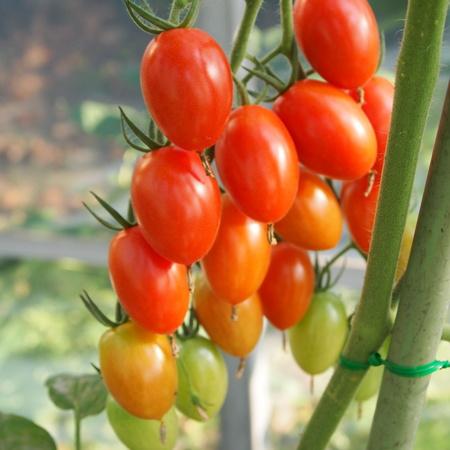 トマトも色々_a0292194_1824696.jpg