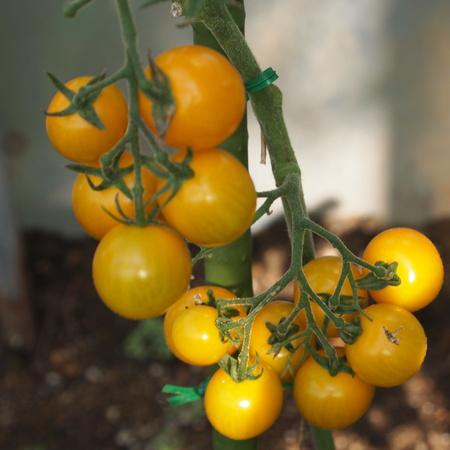 トマトも色々_a0292194_18253684.jpg