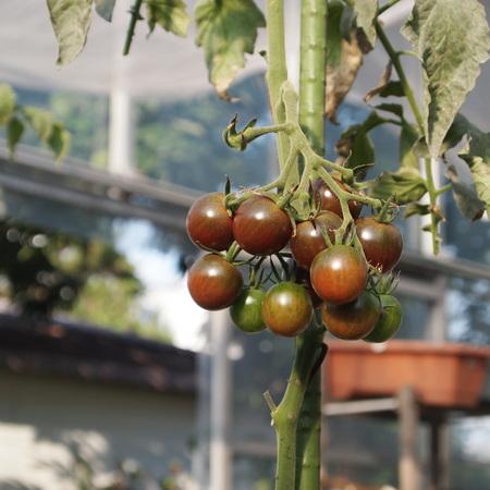 トマトも色々_a0292194_18275766.jpg