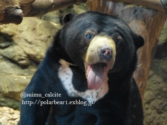 One of female sun bear was killed in a zoo._d0154140_10030362.jpg