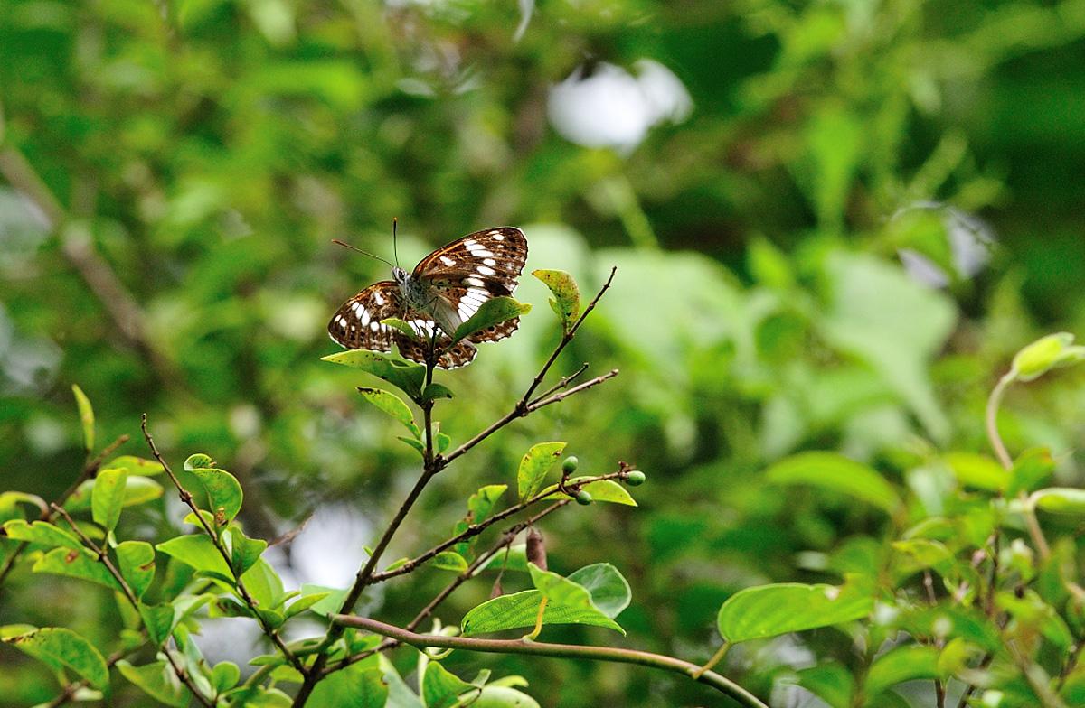 8月の探鳥、探蝶2(北富士演習場、本栖高原)_c0042548_12152726.jpg