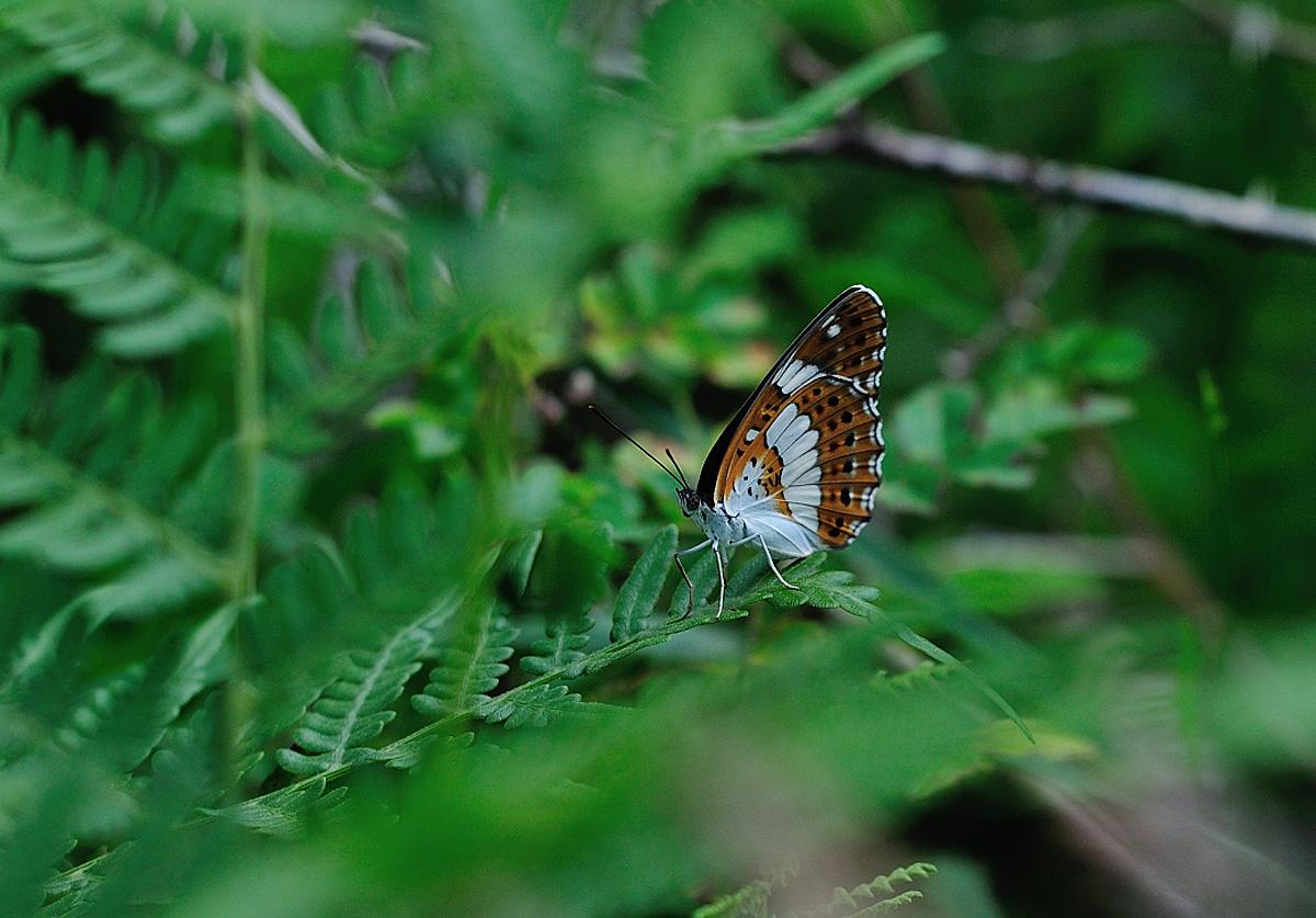 8月の探鳥、探蝶2(北富士演習場、本栖高原)_c0042548_1215596.jpg