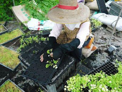 熊本セロリ「清正人参」 9月下旬の定植へ向けて苗床の様子_a0254656_18454873.jpg
