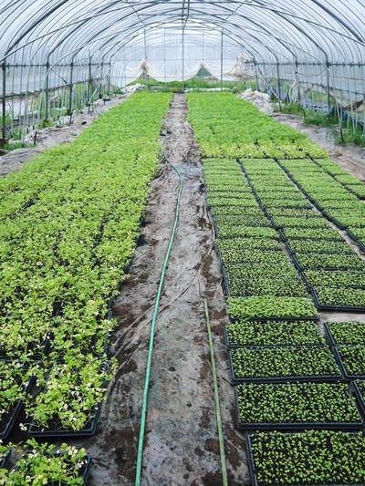 熊本セロリ「清正人参」 9月下旬の定植へ向けて苗床の様子_a0254656_18482562.jpg