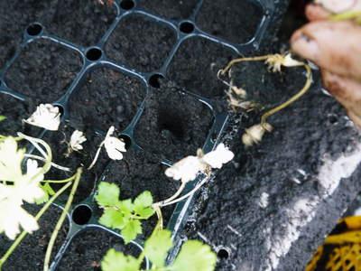 熊本セロリ「清正人参」 9月下旬の定植へ向けて苗床の様子_a0254656_18551656.jpg