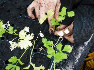 熊本セロリ「清正人参」 9月下旬の定植へ向けて苗床の様子_a0254656_1857231.jpg
