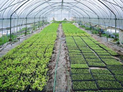 熊本セロリ「清正人参」 9月下旬の定植へ向けて苗床の様子_a0254656_188949.jpg