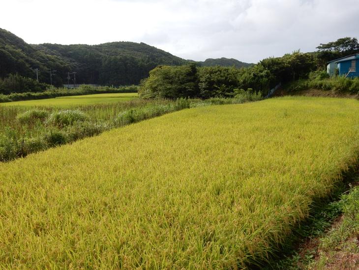 '15,8,12(水)稲の刈り入れももうすぐですYO!_f0060461_10585891.jpg