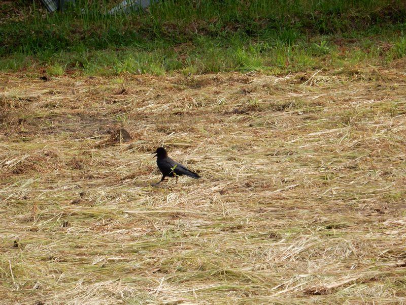 '15,8,12(水)稲の刈り入れももうすぐですYO!_f0060461_112412.jpg