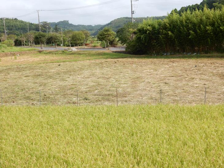 '15,8,12(水)稲の刈り入れももうすぐですYO!_f0060461_1133131.jpg