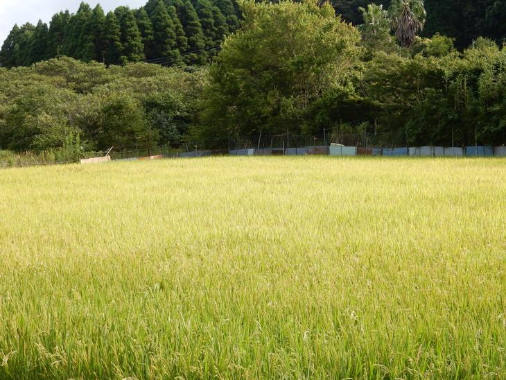 '15,8,12(水)稲の刈り入れももうすぐですYO!_f0060461_14575637.jpg