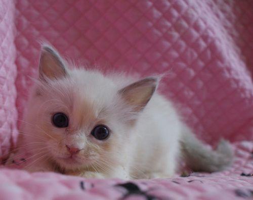 ラグドール ブルーポイントバイカラー男の子7月2日生まれ 4ばんくん_e0033609_16344461.jpg