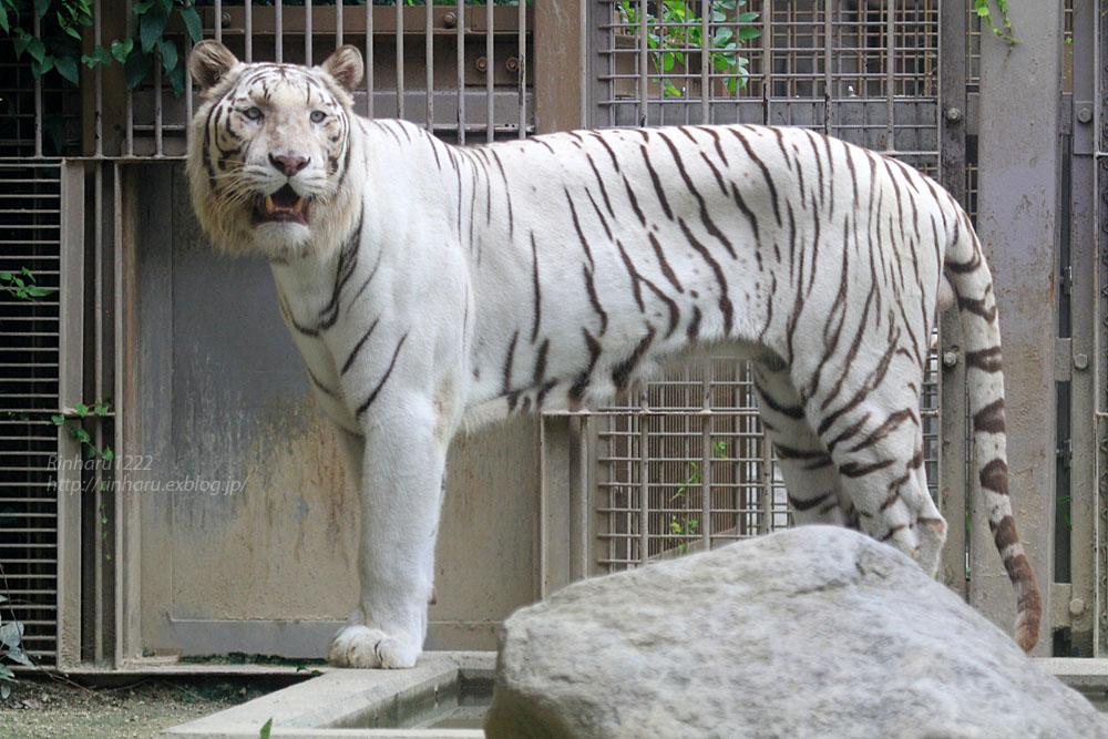 2015.7.19 東武動物公園☆ホワイトタイガーのロッキー【White tiger】_f0250322_21352681.jpg