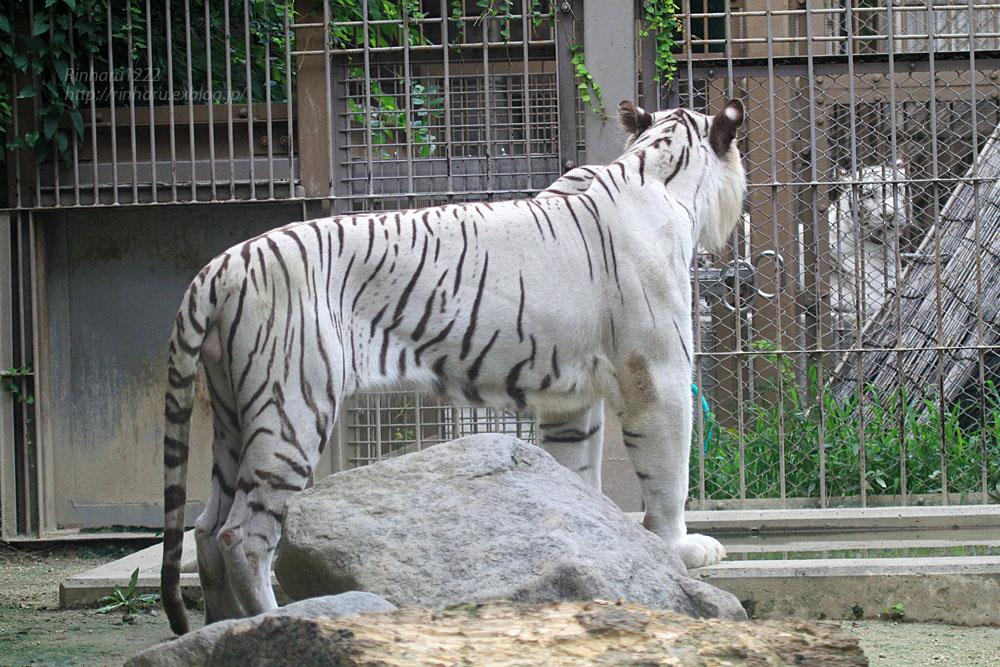 2015.7.19 東武動物公園☆ホワイトタイガーのロッキー【White tiger】_f0250322_21353436.jpg