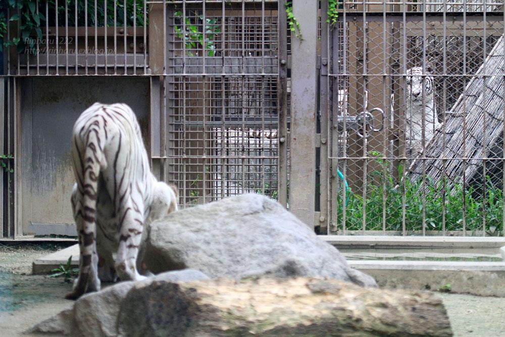 2015.7.19 東武動物公園☆ホワイトタイガーのロッキー【White tiger】_f0250322_21353742.jpg