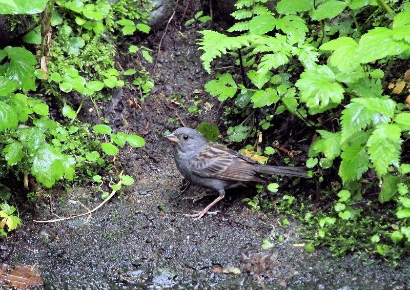 クロジは、本州中部以北に留鳥として生息し繁殖_b0346933_844026.jpg