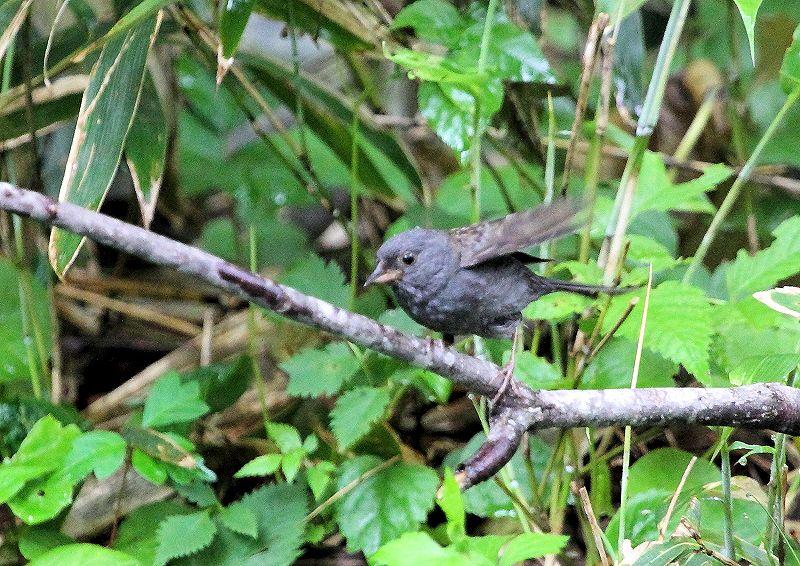 クロジは、本州中部以北に留鳥として生息し繁殖_b0346933_8441653.jpg