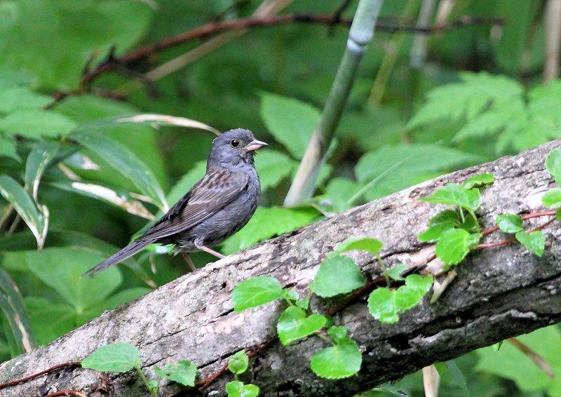 クロジは、本州中部以北に留鳥として生息し繁殖_b0346933_8442512.jpg