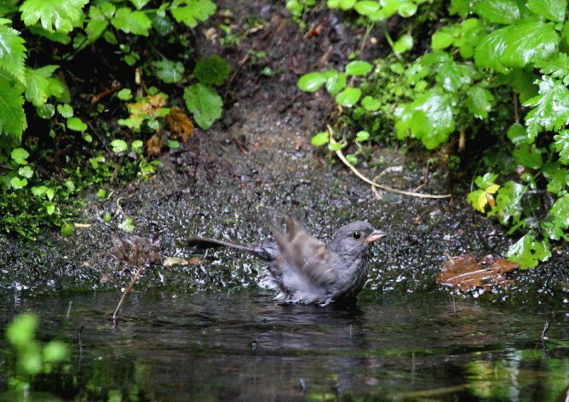 クロジは、本州中部以北に留鳥として生息し繁殖_b0346933_844790.jpg