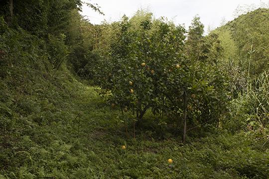 漁村のレモン畑_d0159062_18323969.jpg