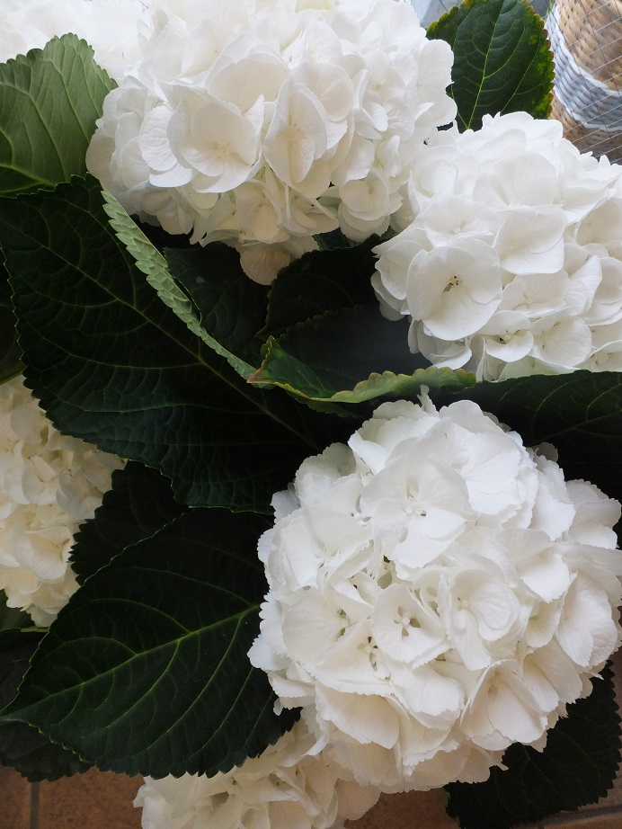 オークリーフ(紫陽花)_f0049672_1827325.jpg