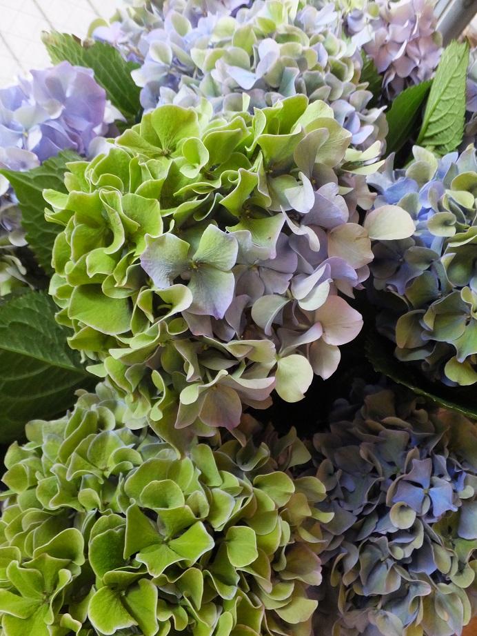 オークリーフ(紫陽花)_f0049672_18282697.jpg
