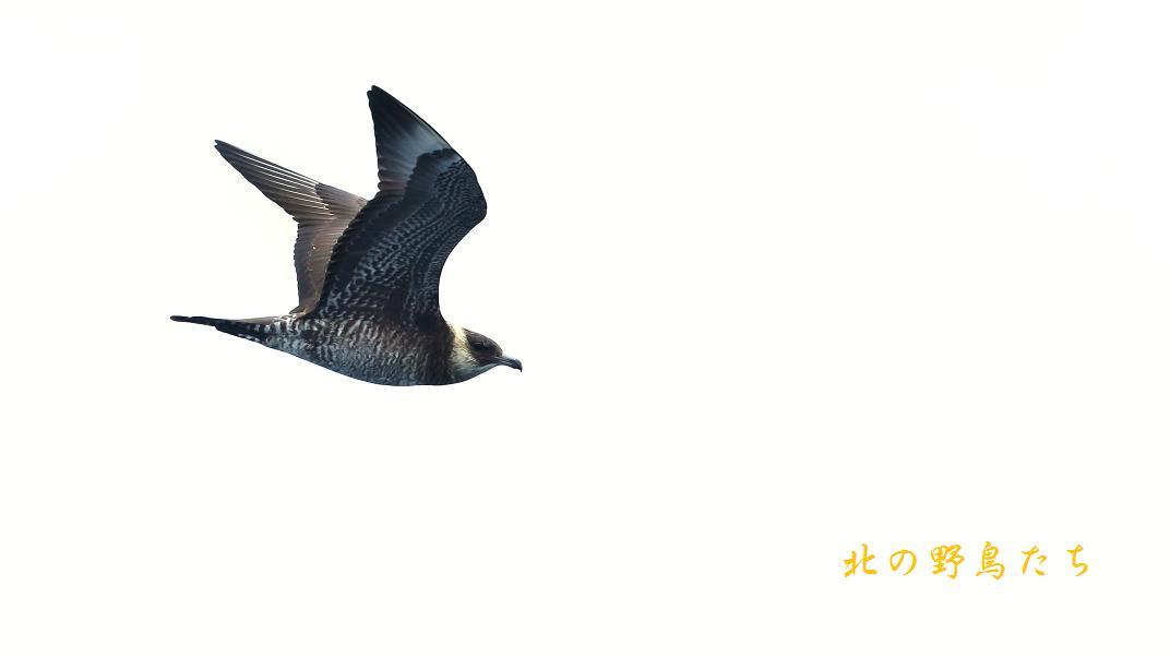 トウゾクカモメ_e0266021_15491969.jpg