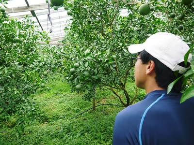 デコポン(肥後ポン) 摘果作業後の成長の様子_a0254656_1720424.jpg