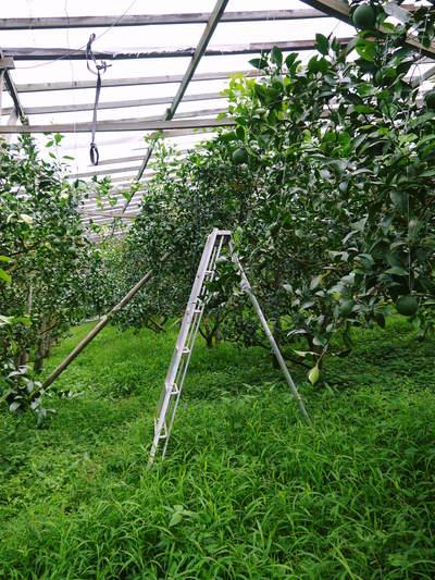 デコポン(肥後ポン) 摘果作業後の成長の様子_a0254656_1723222.jpg