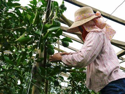 デコポン(肥後ポン) 摘果作業後の成長の様子_a0254656_17351781.jpg
