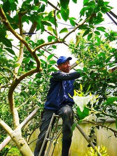 デコポン(肥後ポン) 摘果作業後の成長の様子_a0254656_1741282.jpg