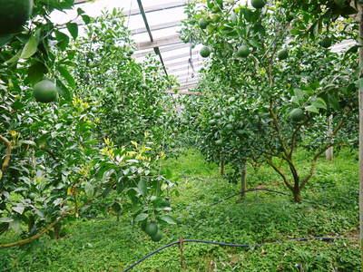 デコポン(肥後ポン) 摘果作業後の成長の様子_a0254656_17453652.jpg