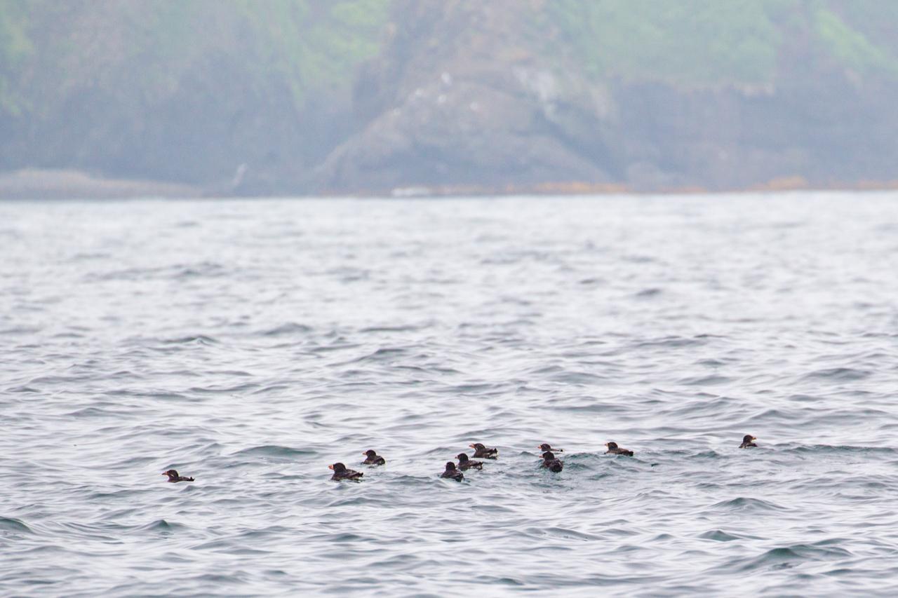 ウミウ、オオセグロカモメ、ウトウ   北海道旅行その36  落石クルーズ_a0052080_21475801.jpg