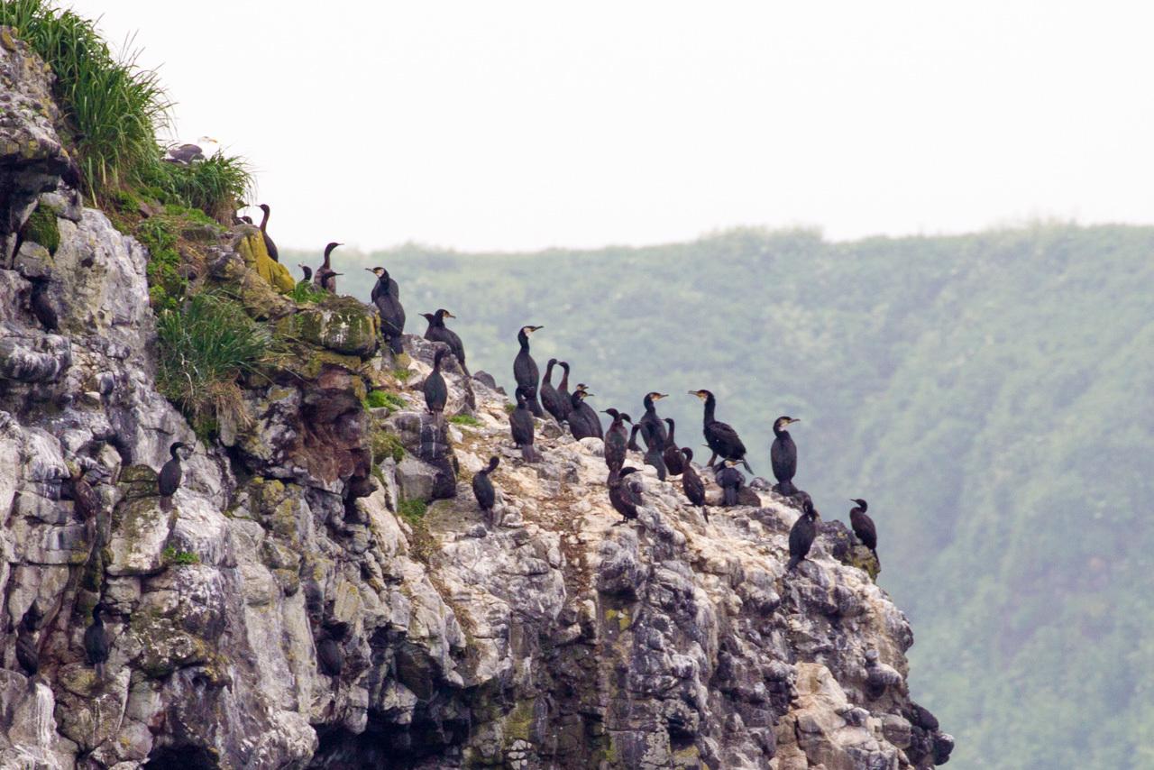 ウミウ、オオセグロカモメ、ウトウ   北海道旅行その36  落石クルーズ_a0052080_21590075.jpg