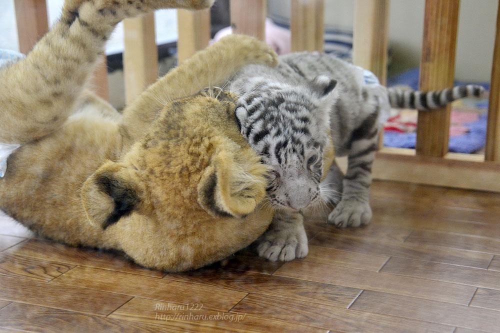 2015.8.14 那須サファリパーク☆ホワイトタイガーのマハロとライオンののぞむ_f0250322_1625377.jpg