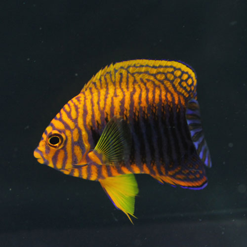 少しのサンゴと海水魚・・・。_d0221436_2314727.jpg