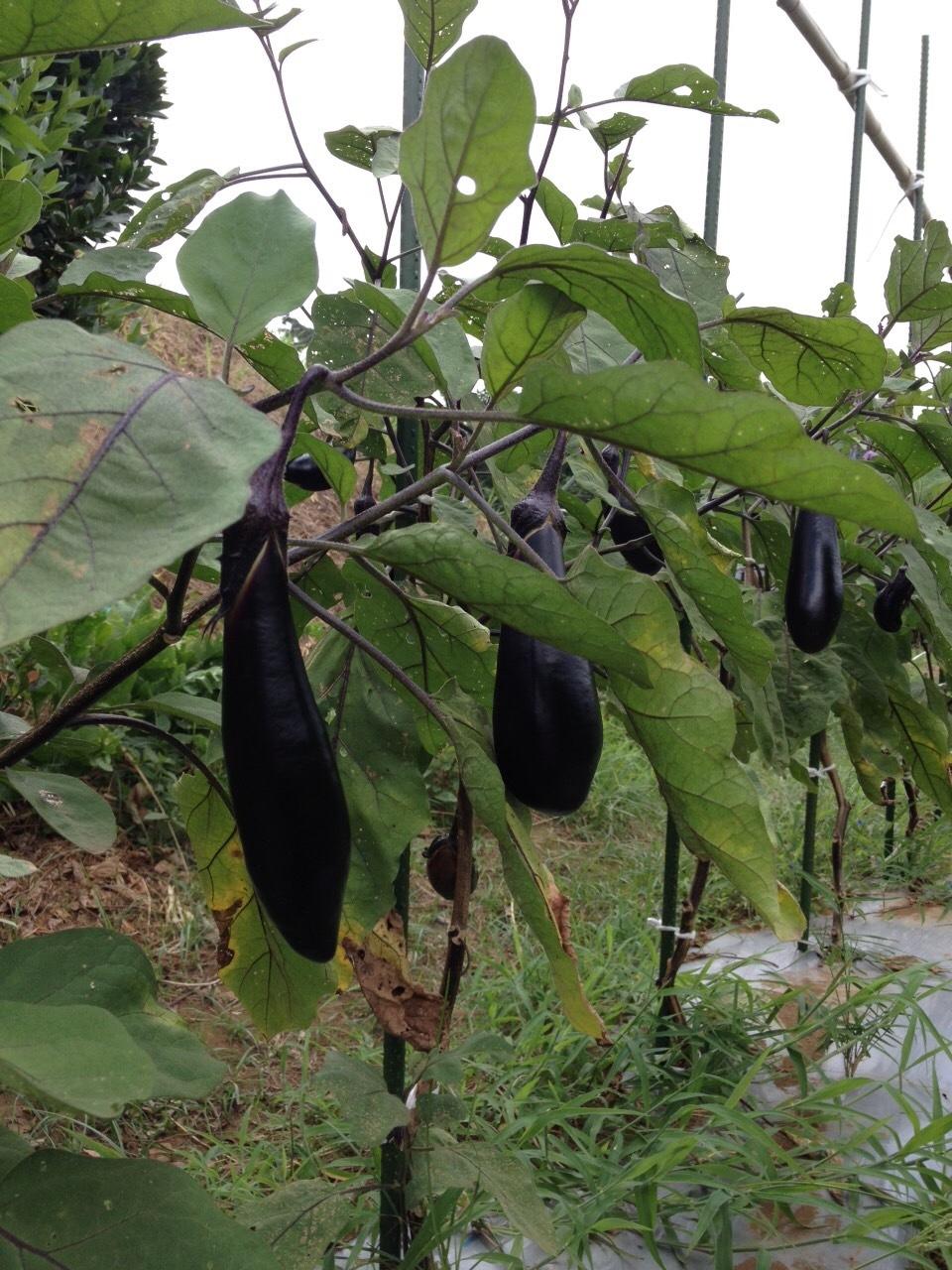 雨はいつ降るのだろう 2週間ぶりに トマトに給水しました 豆やバジリコは3日に1回_c0222448_14541704.jpg