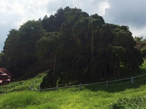 三春滝桜_e0211357_1030018.jpg