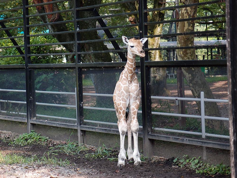 2015.8.1 宇都宮動物園☆キリンの夏子ちゃんと弟くん【Giraffe】_f0250322_2262628.jpg