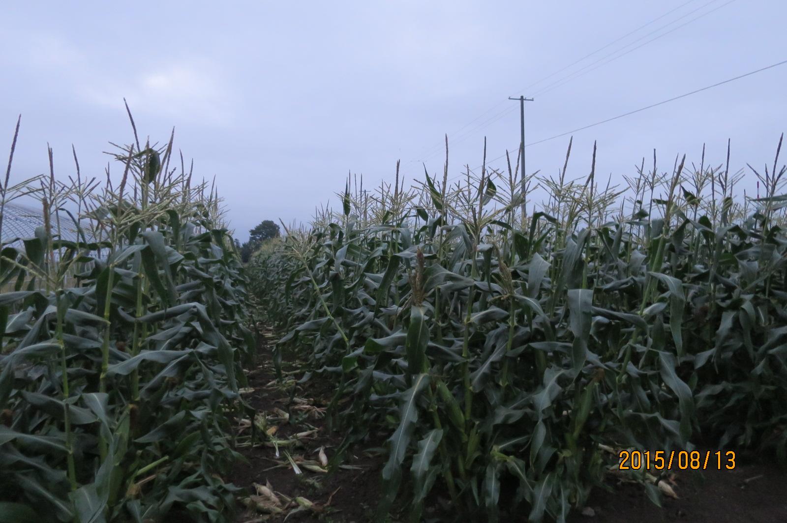 トウモロコシの収穫始まりました!_f0231042_20382217.jpg