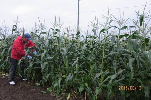 トウモロコシの収穫始まりました!_f0231042_20385165.jpg