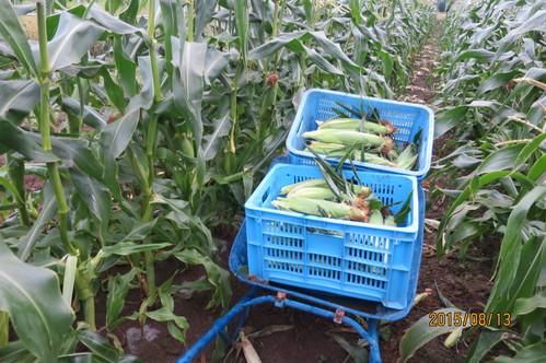 トウモロコシの収穫始まりました!_f0231042_20391754.jpg
