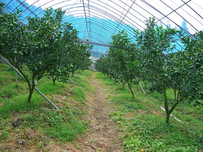 究極の柑橘「せとか」 摘果、玉つり作業後の様子 匠の摘果作業の話_a0254656_1911483.jpg